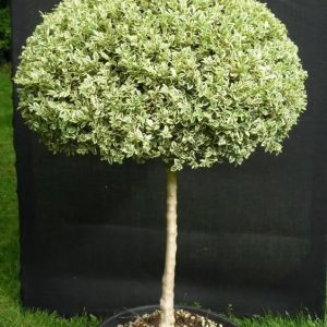 Buxus sempervirens 'Elegantissima' (v) Ball on Stem