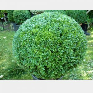 Buxus sempervirens Ball