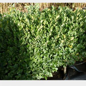 Buxus sempervirens 'Bentley Blue'