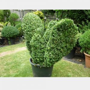 Buxus sempervirens Bird