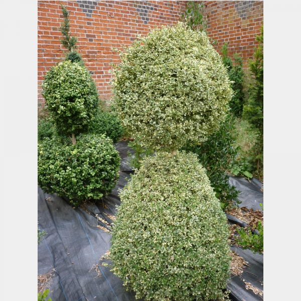 Buxus sempervirens 'Elegantissima' (v) Cone with disc on top