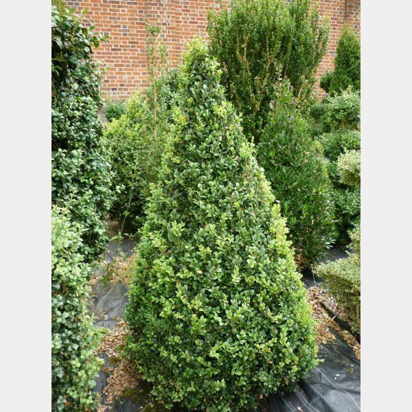 Buxus sempervirens Cone
