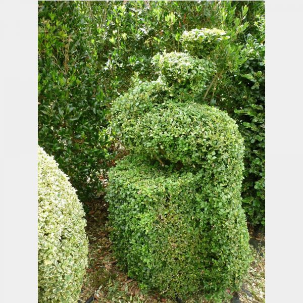 Buxus sempervirens Topiary Arts Peacock