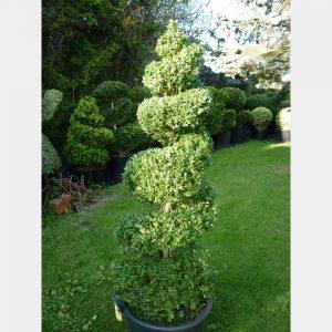 Buxus sempervirens Spiral