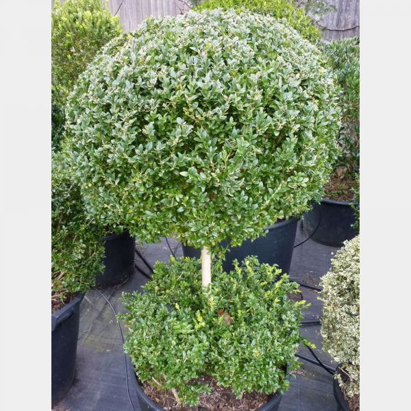 p1010727 Buxus sempervirens Ball on Stem with flat hedging at base