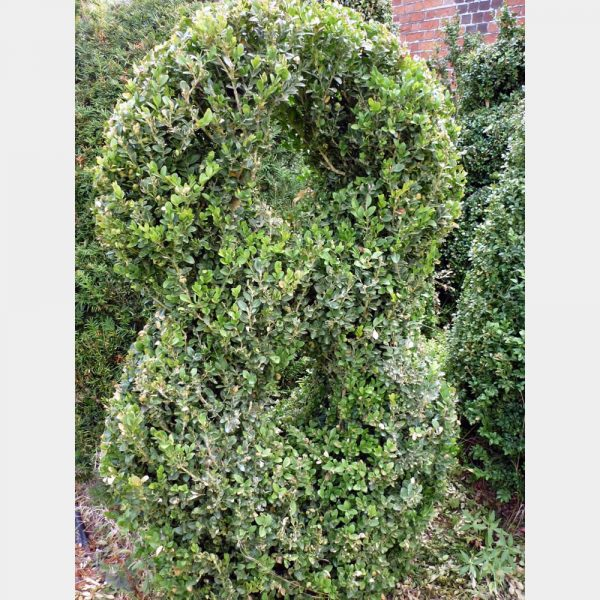 Buxus sempervirens Number 8
