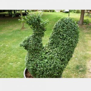 Buxus sempervirens Chicken