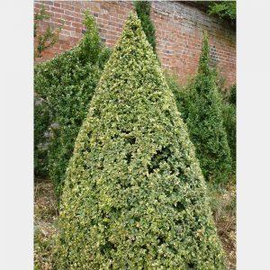 Buxus sempervirens 'Elegans' Cone