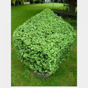 Buxus sempervirens Cube with cone on top
