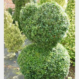 Buxus sempervirens Heart on Ball