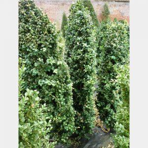 Buxus sempervirens 'Rotundifolia' Hedging