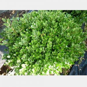 Buxus sempervirens 'Memorial'