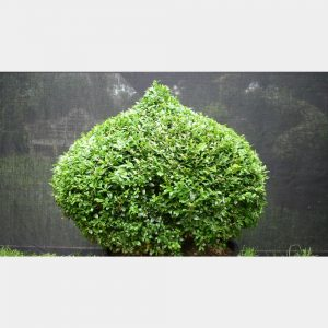 Buxus sempervirens Onion