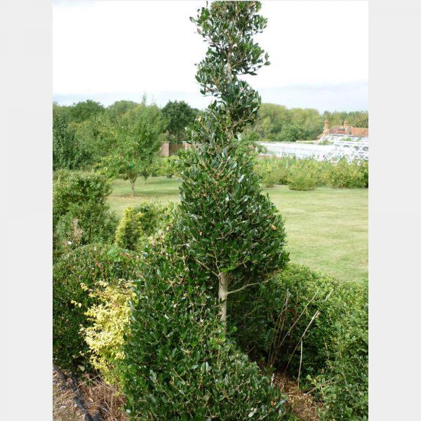 Phillyrea latifolia Spiral